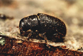 The Ambrosia Beetle