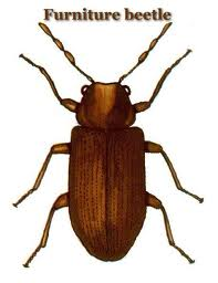 The Common Furniture Beetle
