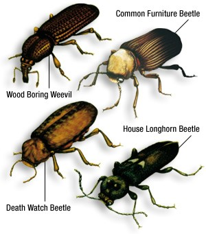 Illustrations of the common furniture beetle, death watch beetle, wood boring weevil and house longhorn beetle.